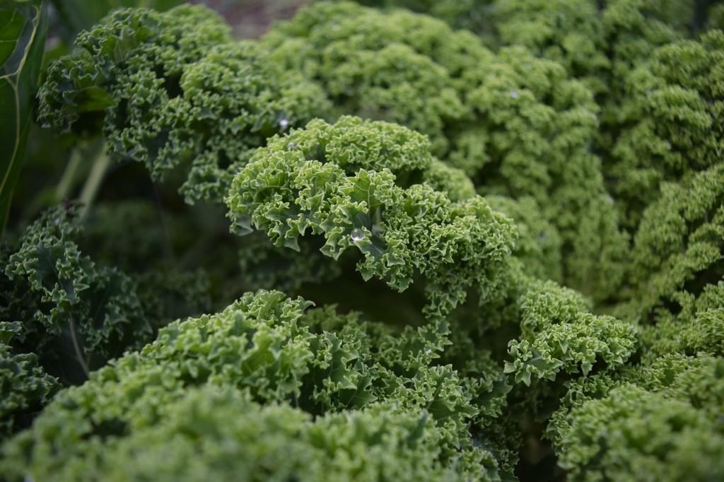 Escarola, una verdura de invierno
